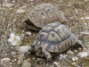 ELCHE (COMUNITAT VALENCIANA).- 09/02/20/ Una pareja de Tortuga Mora (Testudo Graeca) cuya hembra puede almacenar el esperma de uno o varios machos durante 4 años en óptimas condiciones.EFE/MORELL
