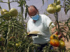 MUTXAMEL (COMUNIDAD VALENCIANA).- 28/07/21/ Santiago García Martínez, investigador del Centro de Investigación e Innovación Agroalimentaria y Agroambiental de la Universidad Miguel Hernández de Elche (CIAGRO-UMH), es uno de los responsables del Programa de Mejora que ha logrado un tomate de la variedad 'Muchamiel' blindado contra dos de los tres principales virus que habitualmente esquilman las cosechas de tomate: los denominados 'mosaico' y 'bronceado', y parcialmente resistente al tercero, al de la 'cuchara'.EFE/Morell