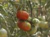 MUTXAMEL (COMUNIDAD VALENCIANA).- 28/07/21/ Ingenieros agrónomos del Centro de Investigación e Innovación Agroalimentaria y Agroambiental de la Universidad Miguel Hernández de Elche (CIAGRO-UMH), han logrado un tomate de la variedad 'Muchamiel' blindado contra dos de los tres principales virus que habitualmente esquilman las cosechas de tomate: los denominados 'mosaico' y 'bronceado', y parcialmente resistente al tercero, al de la 'cuchara'.EFE/Morell